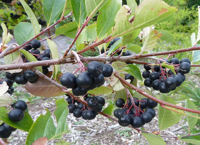 Everything You Should Know About Aronia