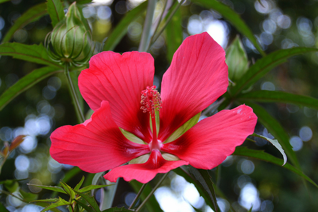 Facts You Should Know About Hibiscus