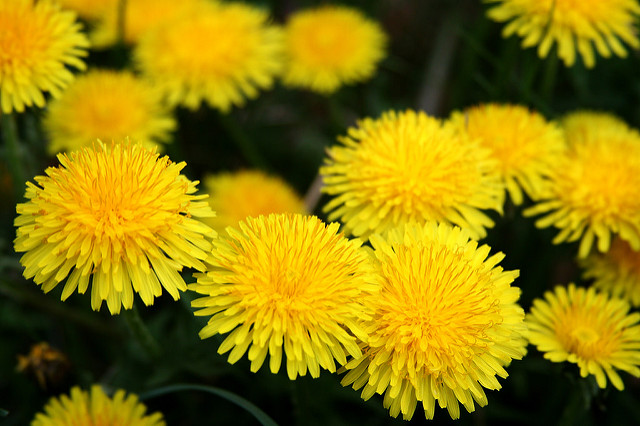 Everything You Should Know About Dandelion