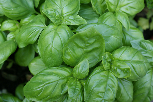 Everything You Should Know About Basil
